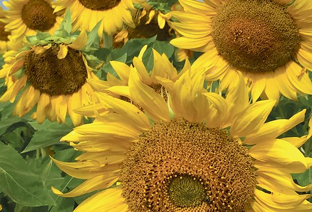 Sunflowers by Rich Barnett