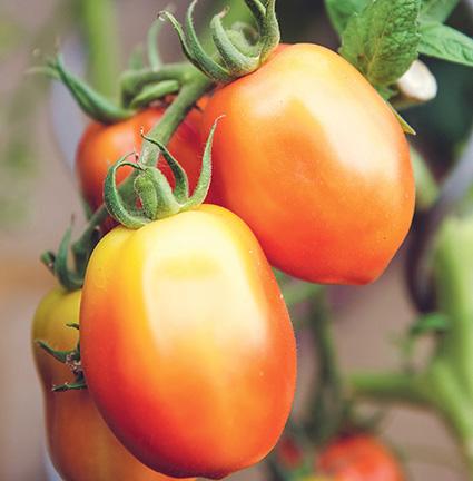 tomatoes_markus spiske