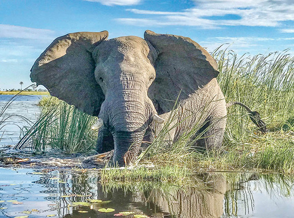 Elephant in the Reeds by Jeff Rogers